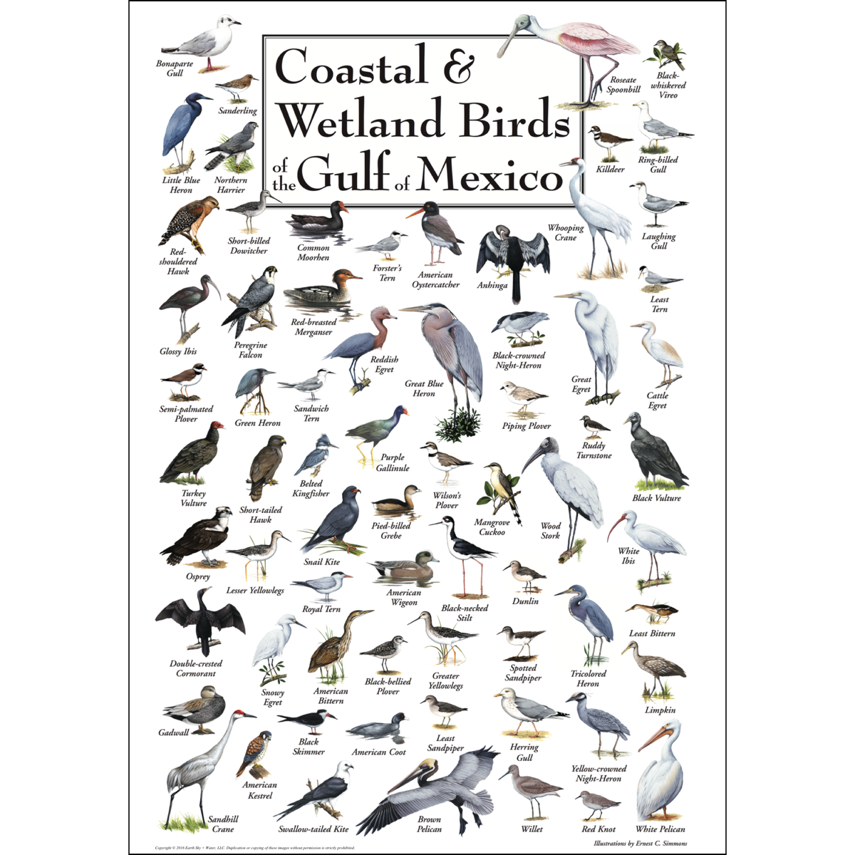 Coastal Amp Wetland Birds Of The Gulf Of Mexico Poster