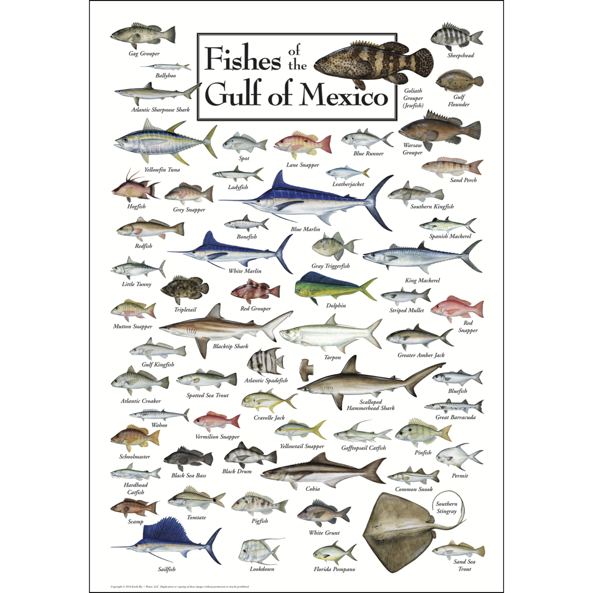 Fishes of the gulf of mexico poster earth sky water for Gulf coast fish
