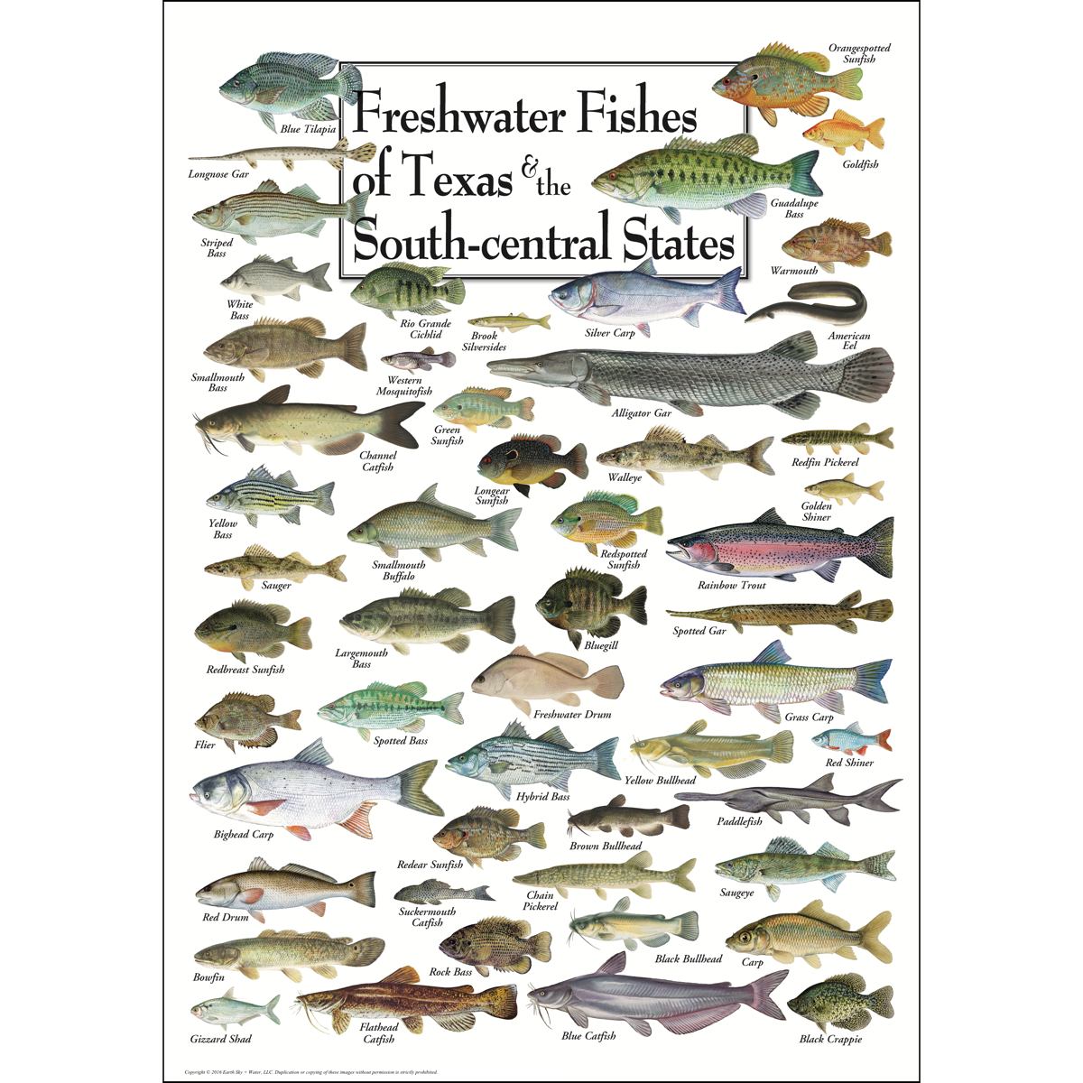 Freshwater Fishes Of Texas South Central States Poster Earth