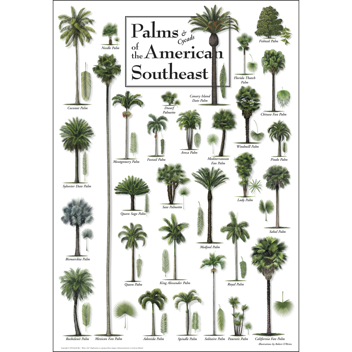 Palms Amp Cycads Of The American Southeast Poster Earth
