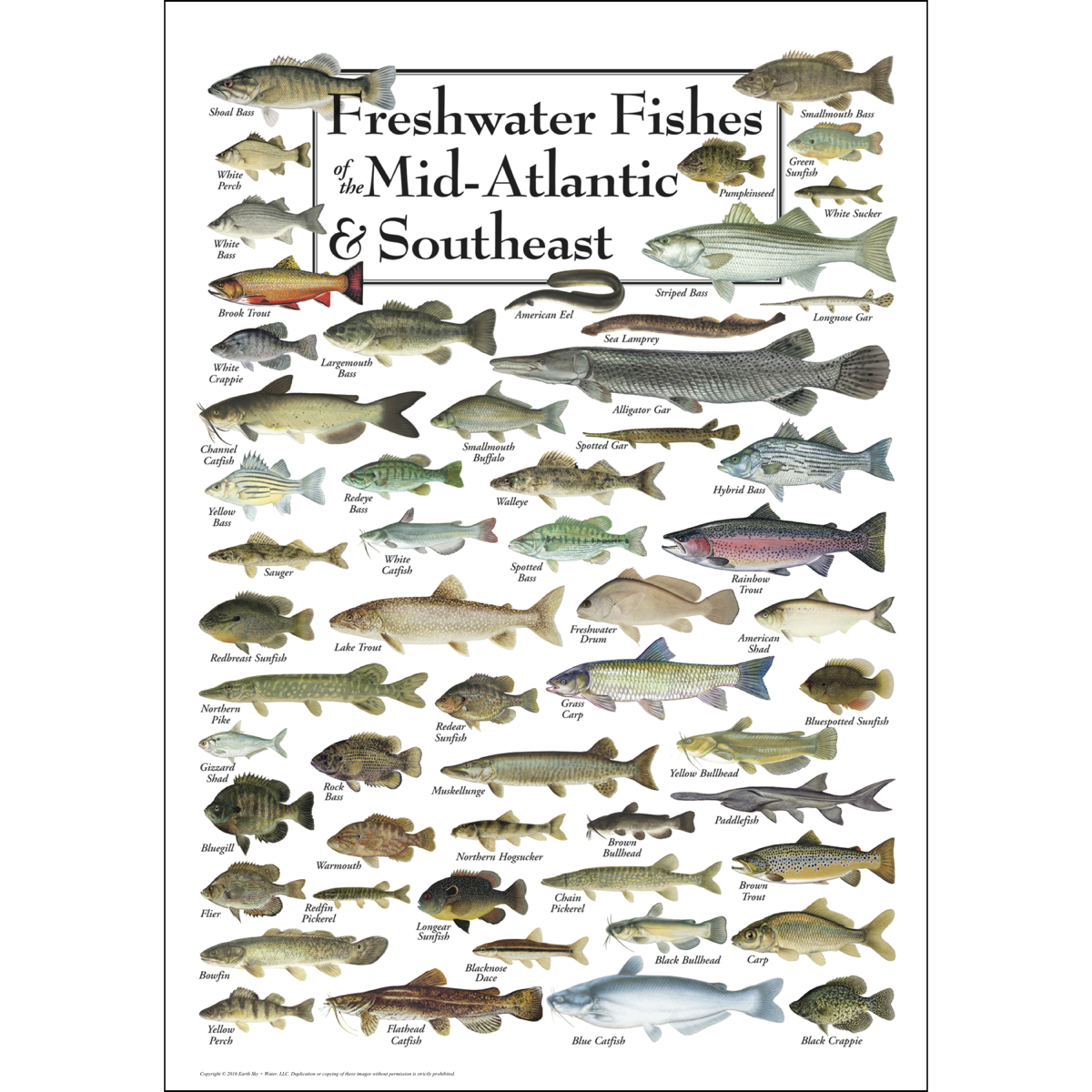Freshwater fishes of the mid atlantic southeast poster for Nj freshwater fishing