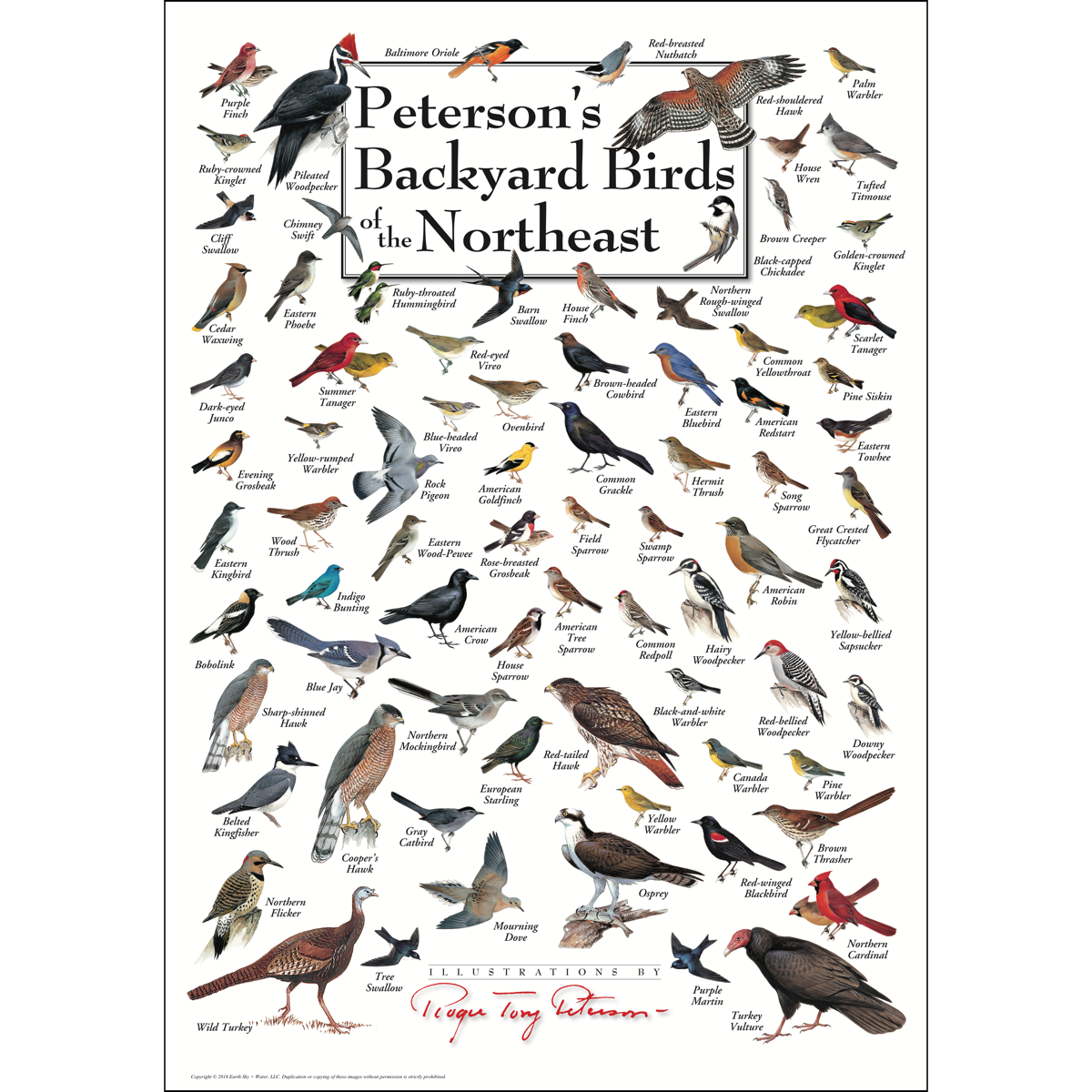 Peterson's Backyard Birds of the Northeast - Poster ...