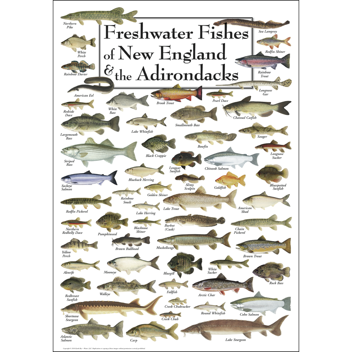 Freshwater Fishes Of New England Adirondacks Poster Earth Sky