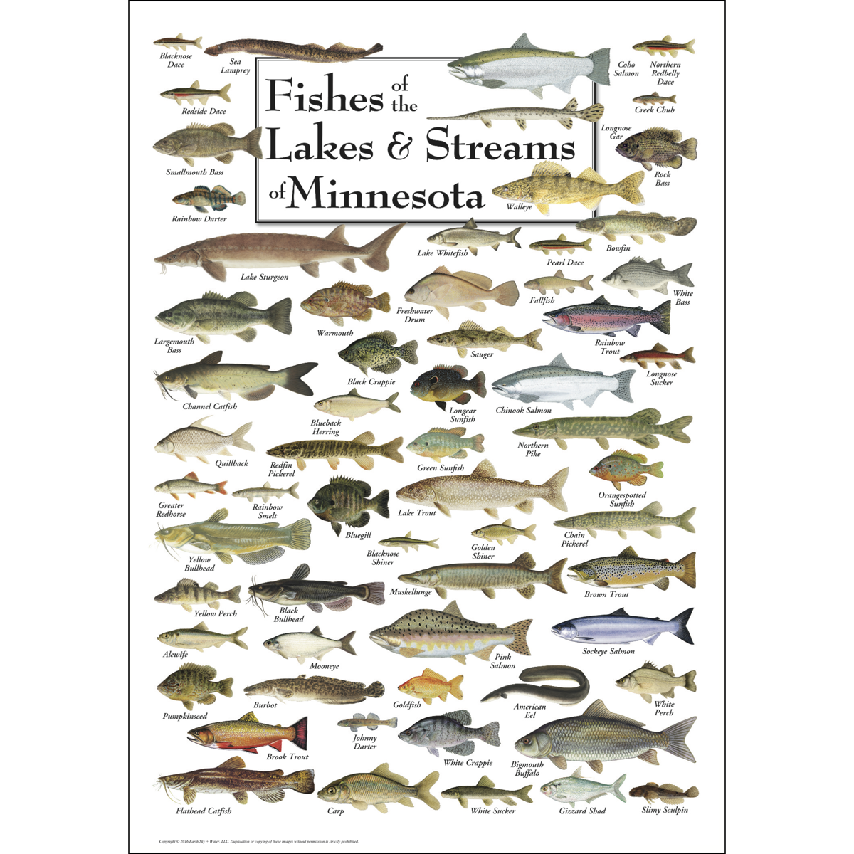 Fishes of the lakes streams of minnesota poster for Fishing in minnesota