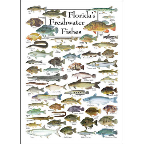 florida s freshwater fishes poster card set of 6 greeting