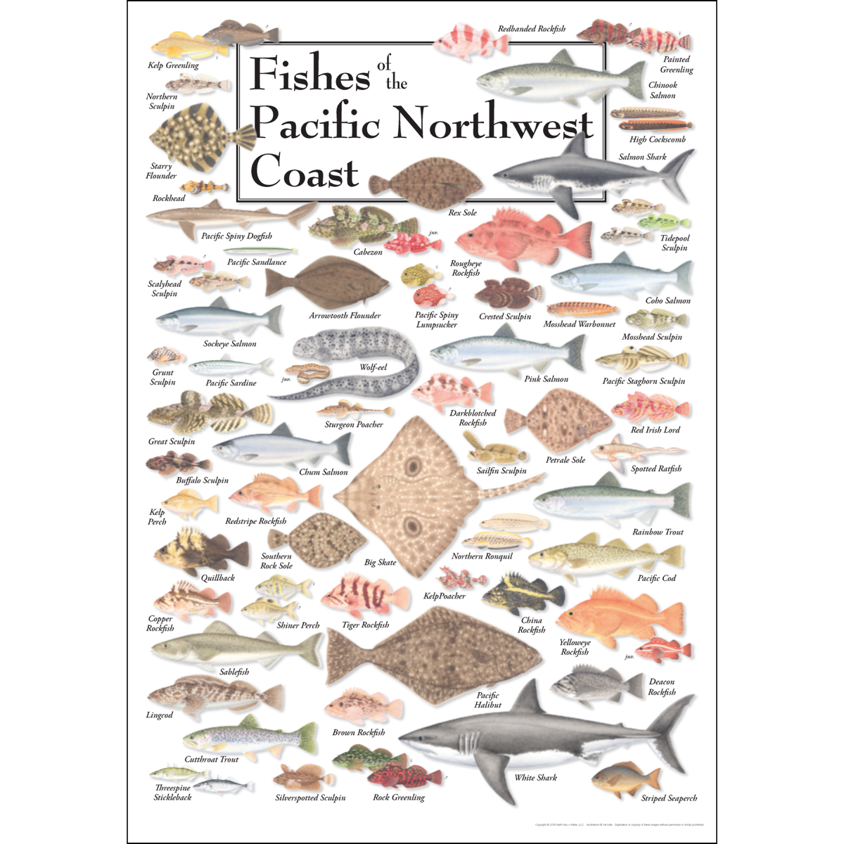 Fishes of the pacific northwest coast poster earth sky for Pacific northwest fish